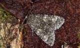 Storhövdat aftonfly - Poplar Grey (Acronicta megacephala)