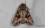 Blåbärslundfly - Light Brocade (Lacanobia w-latinum)