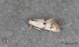 Rörflensgräsmal (Elachista maculicerusella)