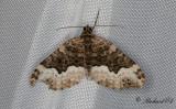 Tvåspetsad fältmätare - Cloaked Carpet (Euphyia biangulata)