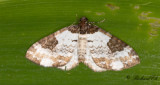 Klematisfältmätare - Pretty Chalk Carpet (Melanthia procellata)