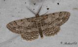 Ringad eklavmätare - Pale Oak Beauty (Hypomecis punctinalis)