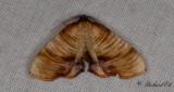 Strimmig smalvingemätare - Scorched Wing (Plagodis dolabraria)