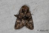 Skogsängsfly (Apamea illyria)