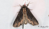 Pilörtsfly - Bird's Wing (Dypterygia scabriuscula)
