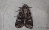 Brunt ängsfly - Dark Brocade (Mniotype adusta)
