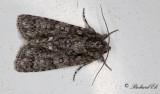 Syraftonfly - Knotgrass moth (Acronicta rumicis)