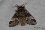 Gulsvansspinnare - Marbled brown (Drymonia dodonaea)