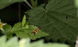 Lövskogsantennmal (Nemophora degeerella)