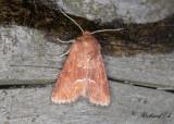 Rödgult ängsfly - Middle-barred Minor (Oligia fasciuncula)