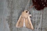 Kommatecknat gräsfly (Leucania comma)