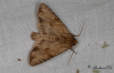 Träbrunt ängsfly - Reddish Light Arches (Apamea sublustris)