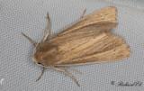 Strandrågsstråfly - Lyme Grass (Longalatedes elymi)