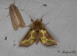 Mittfältsdelat metallfly - Tutts Burnished Brass (Diachrysia stenochrysis)
