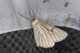 Svartribbad vitvingemätare - Black-veined Moth (Siona lineata)