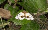 Almfläckmätare - Clouded Magpie (Abraxas sylvata)