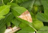 Brunstreckat näbbfly - The Snout (Hypena proboscidalis)