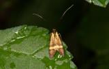 Buskantennmal (Adela croesella)