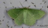 Dagfjärilsmätare - Large Emerald (Geometra papilionaria)