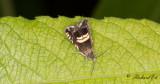 Sötvedelsvecklare (Cydia pallifrontana)