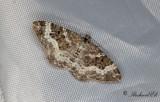 Grå mårfältmätare - White-banded toothed Carpet (Epirrhoe alternata)