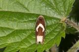Gråbostjälkvecklare (Epiblema foenella)