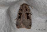 Gråhalsat jordfly - Double Square-spot (Xestia triangulum)