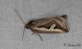 Gråkantat glansfly - Silver Hook (Deltote uncula)