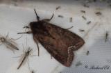 Grönsaksfly - Bright-line Brown-eye (Lacanobia oleracea)