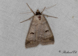 Helfläckat vickerfly - The Blackneck (Lygephila pastinum)