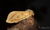 Humlerotfjäril - Ghost Moth (Hepialus humuli)