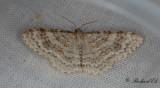 Alälvmätare - Waved Carpet (Hydrelia sylvata)