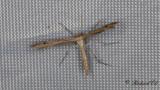 Kungsmyntefjädermott (Merrifieldia baliodactyla)
