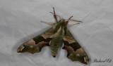 Lindsvärmare - Lime Hawk-moth (Mimas tiliae)