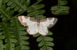 Mindre fläckmätare - Clouded border (Lomaspilis marginata)