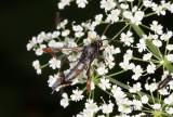 Myrlik glasvinge - Red-tipped Clearwing (Synanthedon formicaeformis)