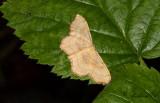 Naggad lövmätare - Small Scallop (Idaea emarginata)