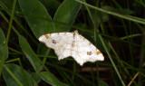 Pilbågmätare - Peacock moth (Macaria notata)