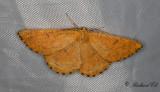 Plommonmätare - Orange Moth (Angerona prunaria)