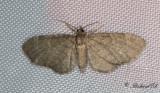 Skuggmalmätare (Eupithecia immundata)