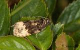 Rosenbrokvecklare (Hedya ochroleucana)