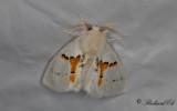 Vit hakvinge - White Prominent (Leucodonta bicoloria)