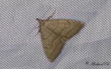 Vitkantat sprötfly - Common Fan-foot (Pechipogo strigilata)