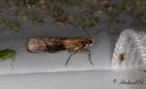 Vitpilsmott (Sciota adelphella)