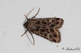 Vitribbat lundfly - Bordered Gothic (Sideridis reticulata)