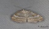 Vitstreckad fältmätare - Grass Rivulet (Perizoma albulata)