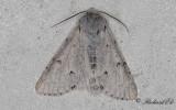 Vitt aftonfly - The Miller (Acronicta leporina)