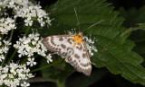 Vitt nässelmott (Anania hortulata)
