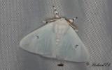 Vitvingespinnare - Black V Moth (Arctornis l-nigrum)