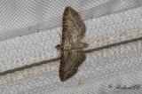 Ängsmalmätare - Shaded Pug (Eupithecia subumbrata)
